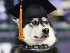 Husky in mortarboard